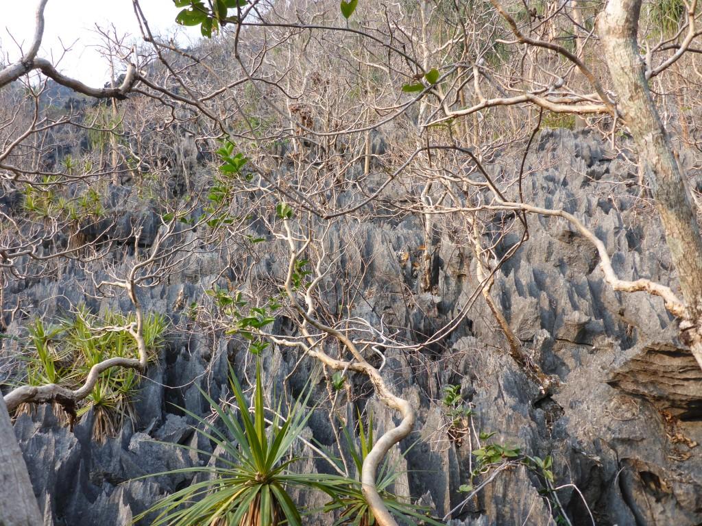 Tsingys laotiens